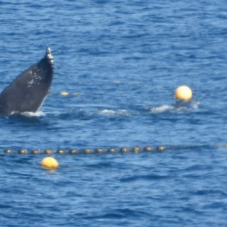 Humpback whale trapped in fishing nets, Taiji, Japan