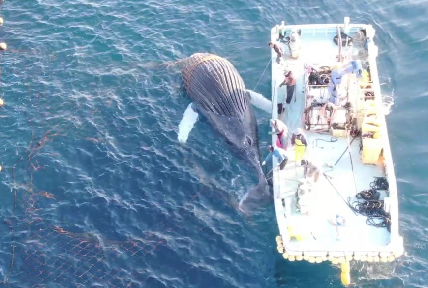 Humpback Whale dies after ramming Taiji's set nets, Taiji, Japan