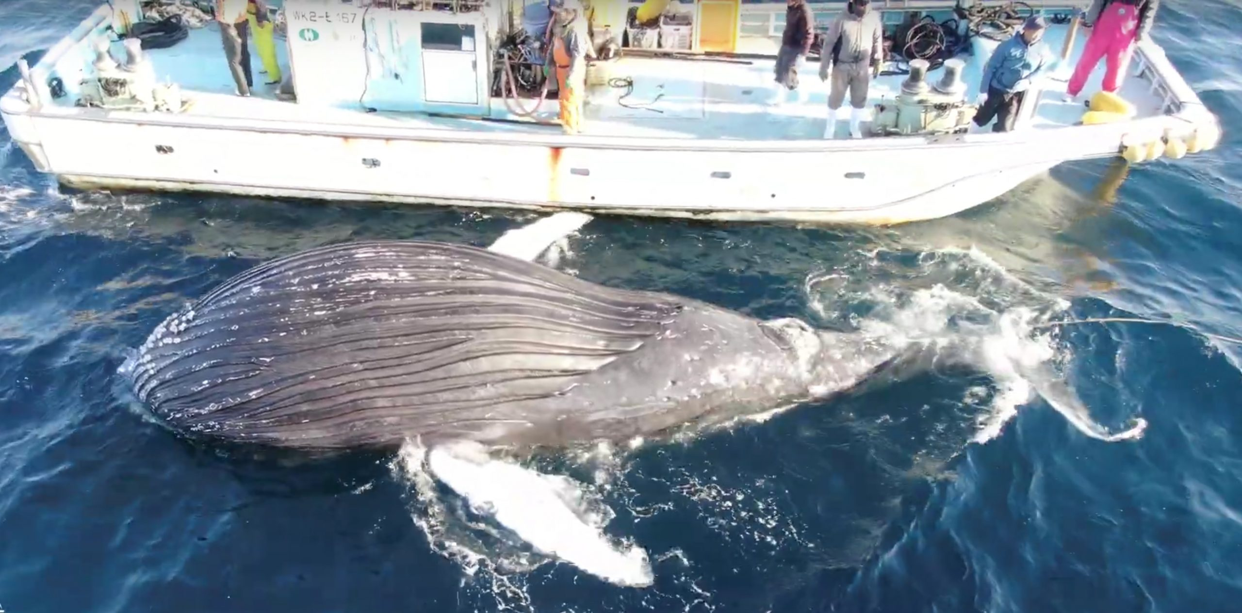 Humpback whale dragged back out to sea after dying in Taiji's fishing nets, Taiji, Japan
