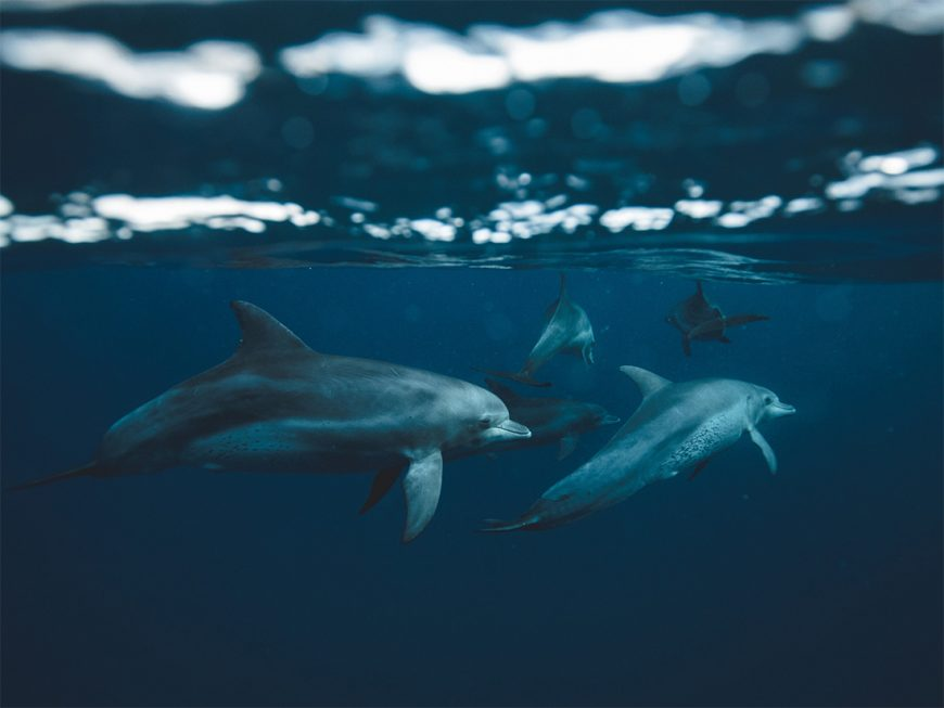 Bottlenose dolphins underwater